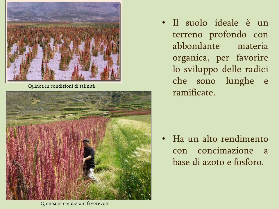 Quinoa in condizioni di salinità Il suolo ideale è un terreno profondo con abbondante materia organica, per favorire lo sviluppo delle radici che sono