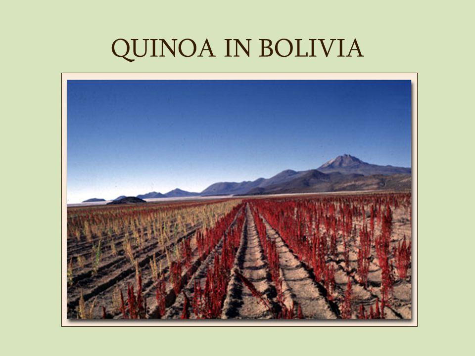 QUINOA IN BOLIVIA