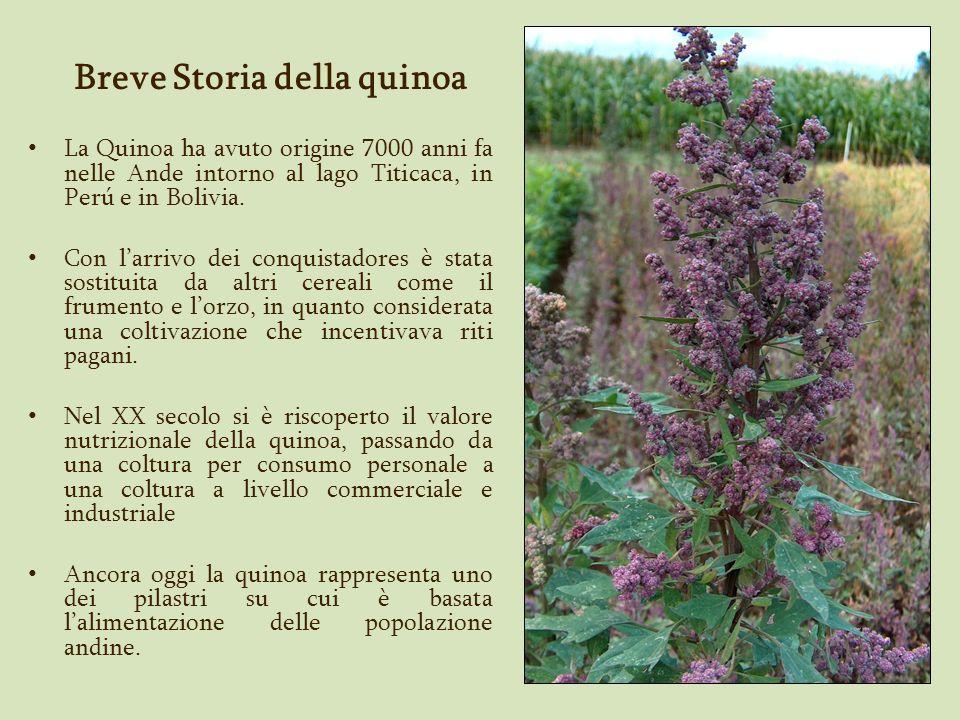 Quinoa a maturità fisiologica Terreno fertilizzato con letame di ovini e bovini.