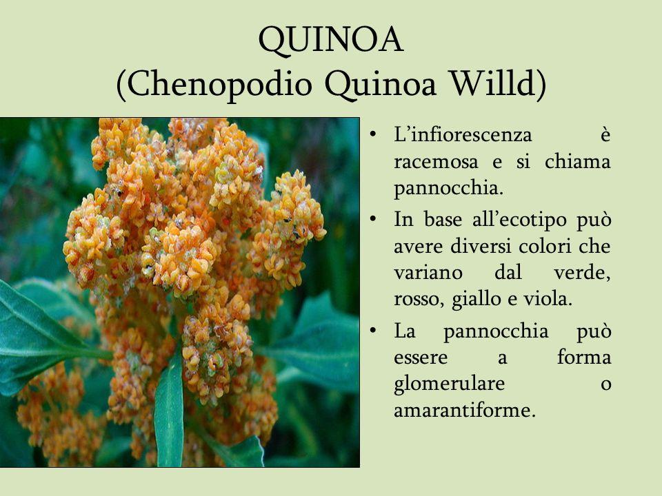 QUINOA (Chenopodio Quinoa Willd) Linfiorescenza è racemosa e si chiama pannocchia. In base allecotipo può avere diversi colori che variano dal verde,