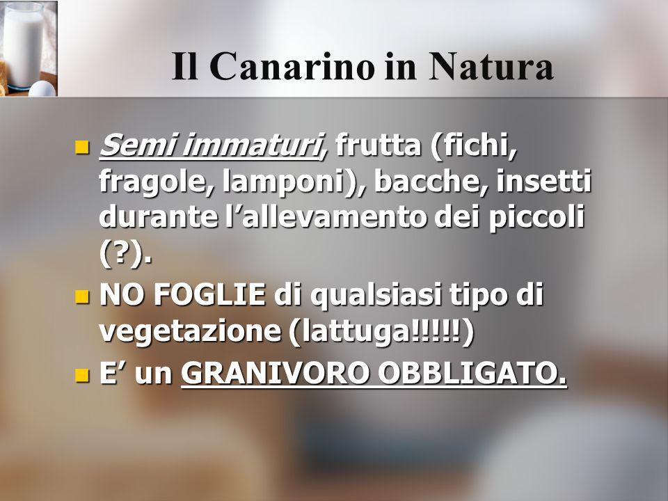 Semi immaturi, frutta (fichi, fragole, lamponi), bacche, insetti durante lallevamento dei piccoli (?). Semi immaturi, frutta (fichi, fragole, lamponi)