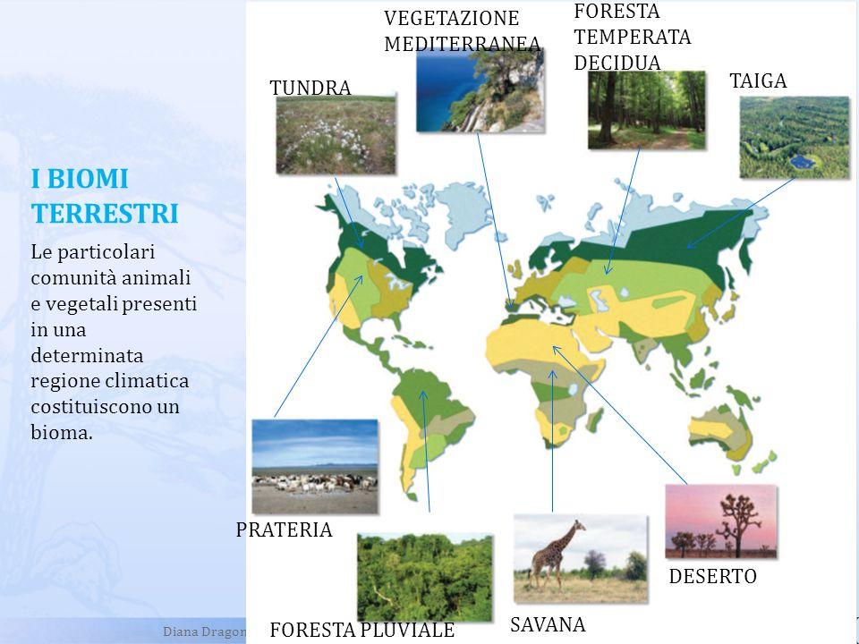 I BIOMI TERRESTRI TUNDRA VEGETAZIONE MEDITERRANEA FORESTA TEMPERATA DECIDUA TAIGA PRATERIA FORESTA PLUVIALE SAVANA DESERTO Le particolari comunità ani