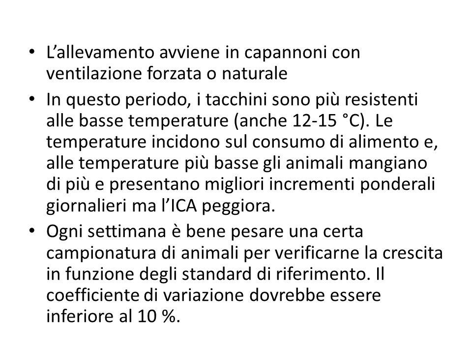 Lallevamento avviene in capannoni con ventilazione forzata o naturale In questo periodo, i tacchini sono più resistenti alle basse temperature (anche