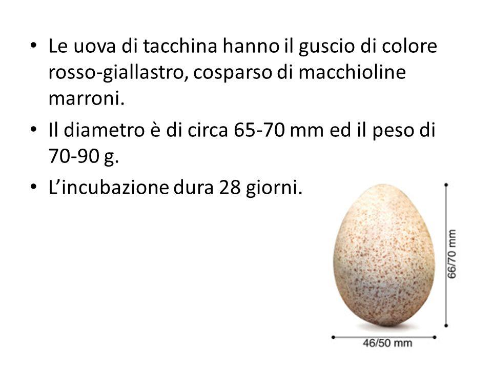 Le uova di tacchina hanno il guscio di colore rosso-giallastro, cosparso di macchioline marroni. Il diametro è di circa 65-70 mm ed il peso di 70-90 g