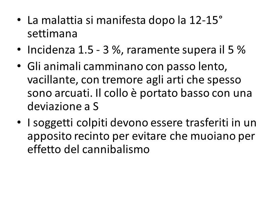 La malattia si manifesta dopo la 12-15° settimana Incidenza 1.5 - 3 %, raramente supera il 5 % Gli animali camminano con passo lento, vacillante, con