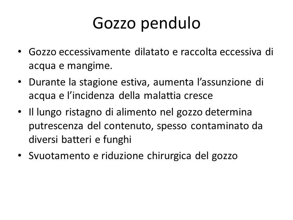 Gozzo pendulo Gozzo eccessivamente dilatato e raccolta eccessiva di acqua e mangime. Durante la stagione estiva, aumenta lassunzione di acqua e lincid