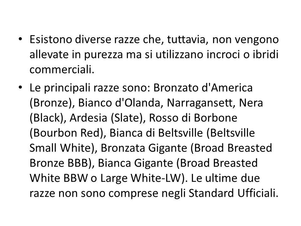 Razze italiane Bronzato dei colli Euganei Bronzato dei Lessini Nero