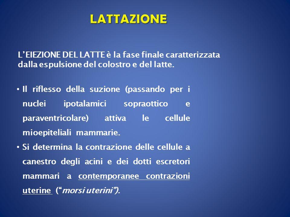 LEIEZIONE DEL LATTE è la fase finale caratterizzata dalla espulsione del colostro e del latte. Il riflesso della suzione (passando per i nuclei ipotal