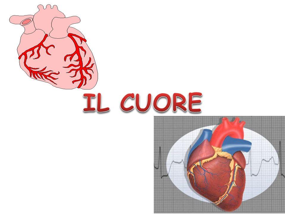 Il cuore è un muscolo cavo costituito da un particolare tessuto muscolare, il miocardio.