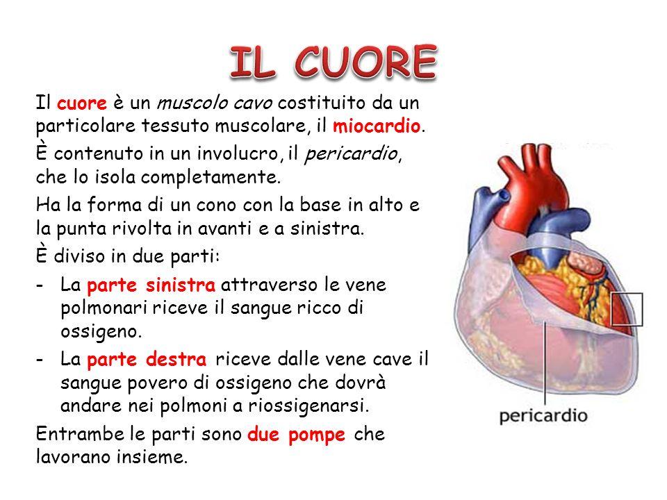 Il cuore è un muscolo cavo costituito da un particolare tessuto muscolare, il miocardio. È contenuto in un involucro, il pericardio, che lo isola comp