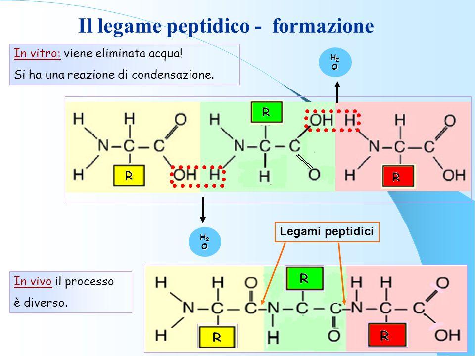 H2OH2OH2OH2O H2OH2OH2OH2O Legami peptidici In vitro: viene eliminata acqua! Si ha una reazione di condensazione. In vivo il processo è diverso. Il leg