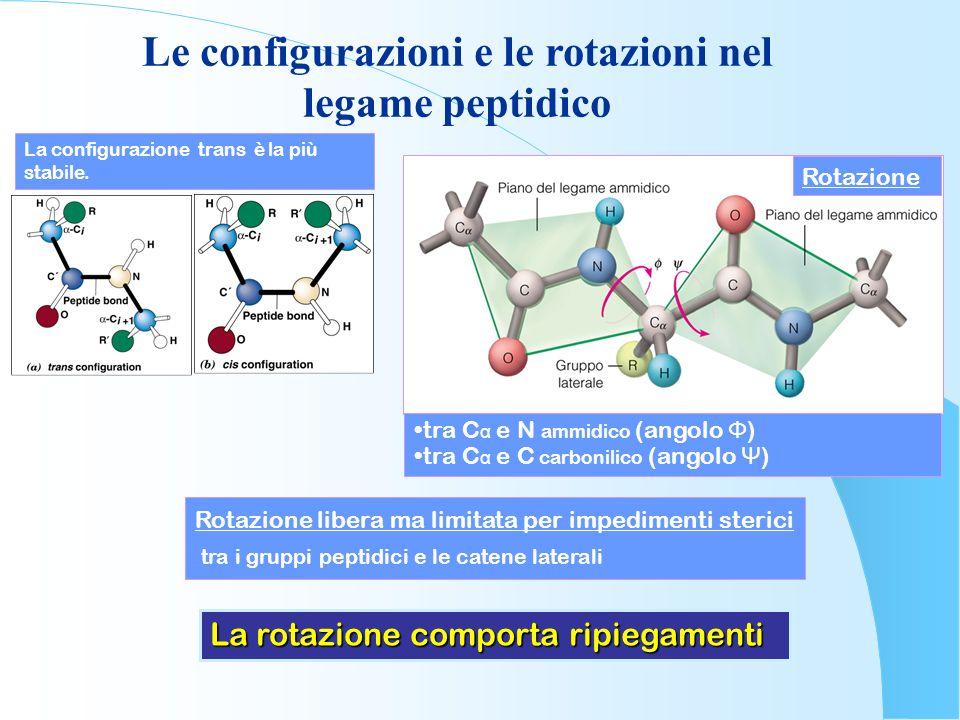 Le configurazioni e le rotazioni nel legame peptidico La configurazione trans è la più stabile. tra C α e N ammidico (angolo Φ ) tra C α e C carbonili