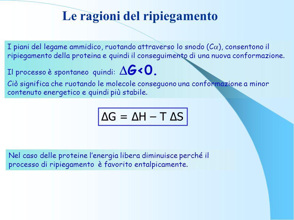 Le ragioni del ripiegamento I piani del legame ammidico, ruotando attraverso lo snodo (C ), consentono il ripiegamento della proteina e quindi il cons