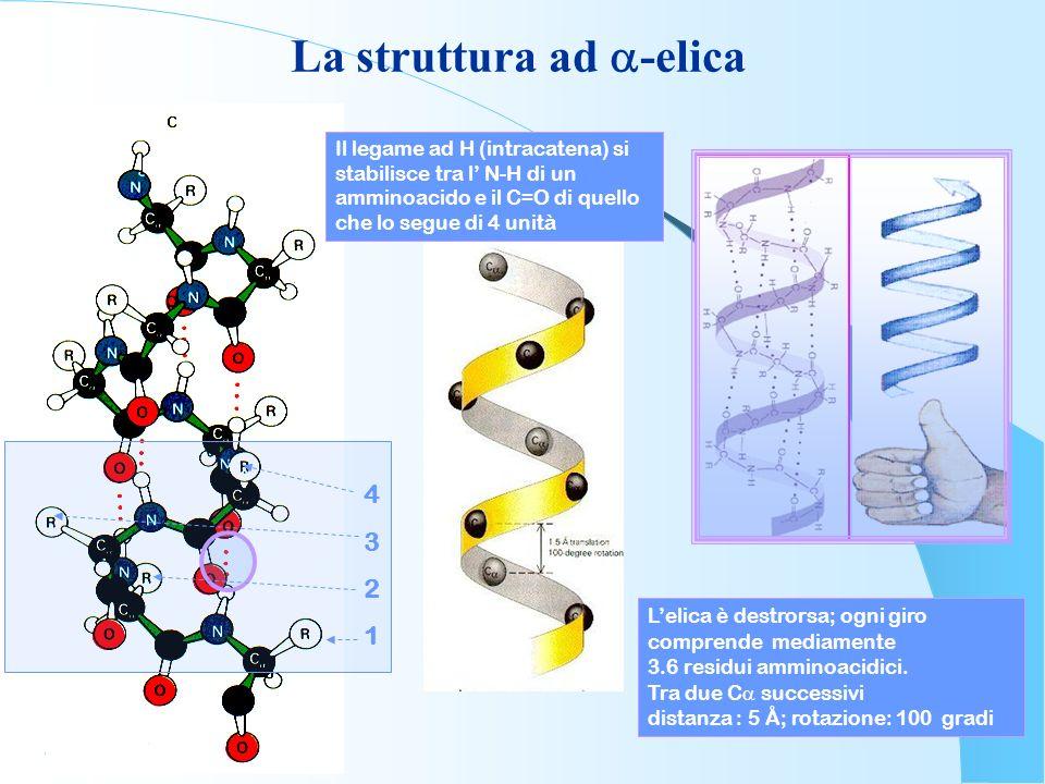 La struttura ad -elica 43214321 Il legame ad H (intracatena) si stabilisce tra l N-H di un amminoacido e il C=O di quello che lo segue di 4 unità Leli