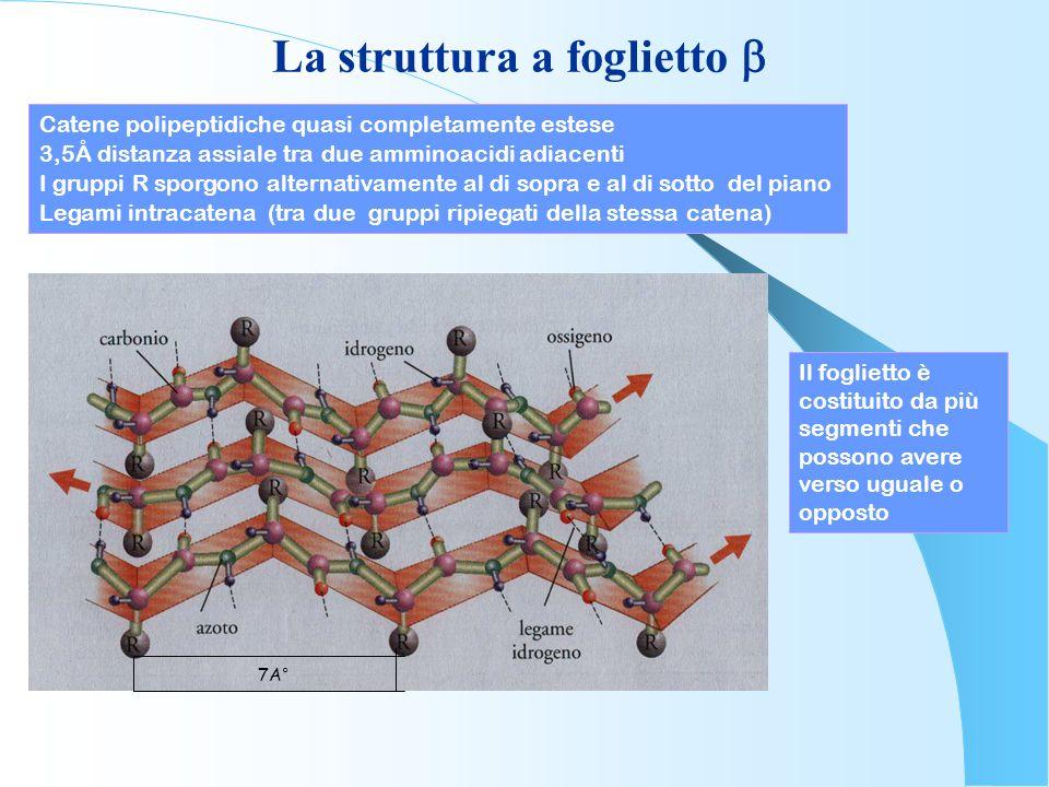 La struttura a foglietto Catene polipeptidiche quasi completamente estese 3,5Å distanza assiale tra due amminoacidi adiacenti I gruppi R sporgono alte