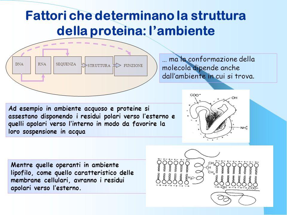 Fattori che determinano la struttura della proteina: lambiente DNARNA STRUTTURA SEQUENZA FUNZIONE … ma la conformazione della molecola dipende anche d