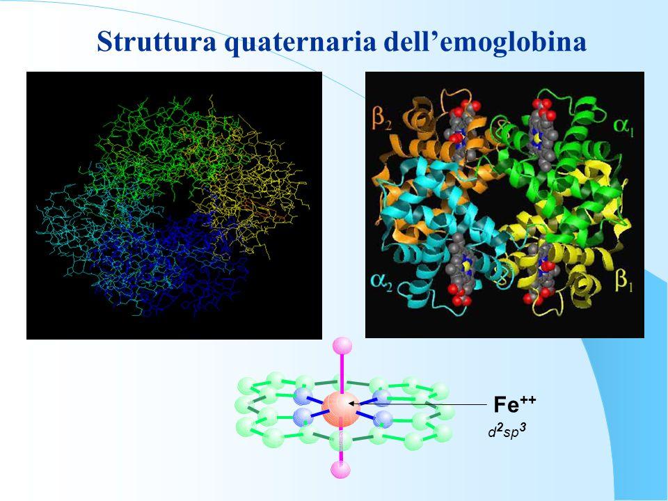 Fe ++ d 2 sp 3 Struttura quaternaria dellemoglobina