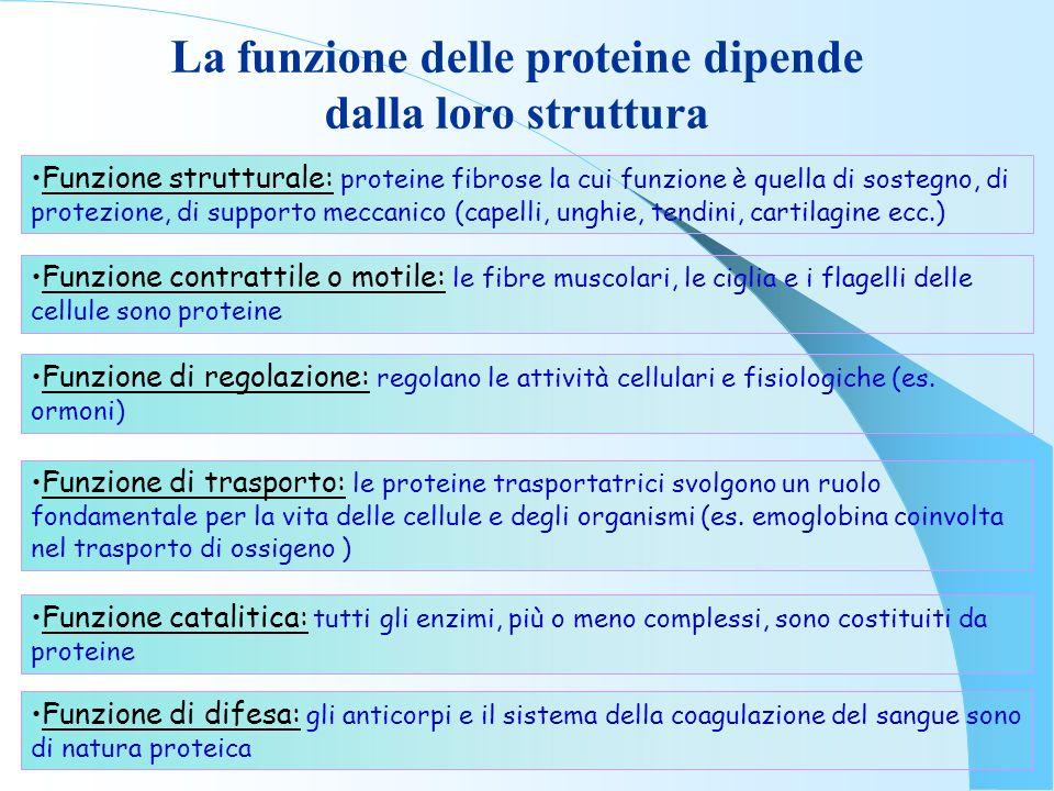 Funzione strutturale: proteine fibrose la cui funzione è quella di sostegno, di protezione, di supporto meccanico (capelli, unghie, tendini, cartilagi