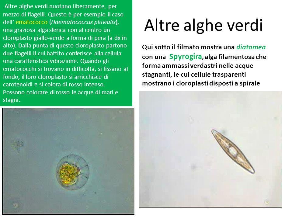 Altre alghe verdi ematococco Qui sotto il filmato mostra una diatomea con una Spyrogira, alga filamentosa che forma ammassi verdastri nelle acque stag