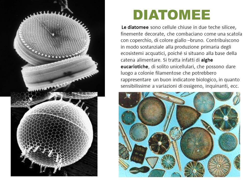 DIATOMEE Si Le diatomee sono cellule chiuse in due teche silicee, finemente decorate, che combaciano come una scatola con coperchio, di colore giallo