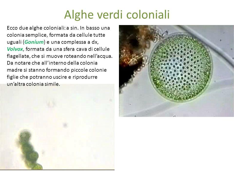 Alghe verdi coloniali Ecco due alghe coloniali: a sin. In basso una colonia semplice, formata da cellule tutte uguali (Gonium) e una complessa a dx, V