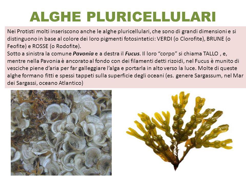 ALGHE PLURICELLULARI Nei Protisti molti inseriscono anche le alghe pluricellulari, che sono di grandi dimensioni e si distinguono in base al colore de