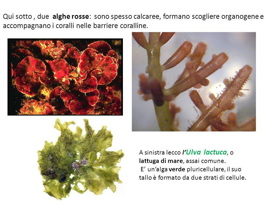 Qui sotto, due alghe rosse: sono spesso calcaree, formano scogliere organogene e accompagnano i coralli nelle barriere coralline. A sinistra lecco l U