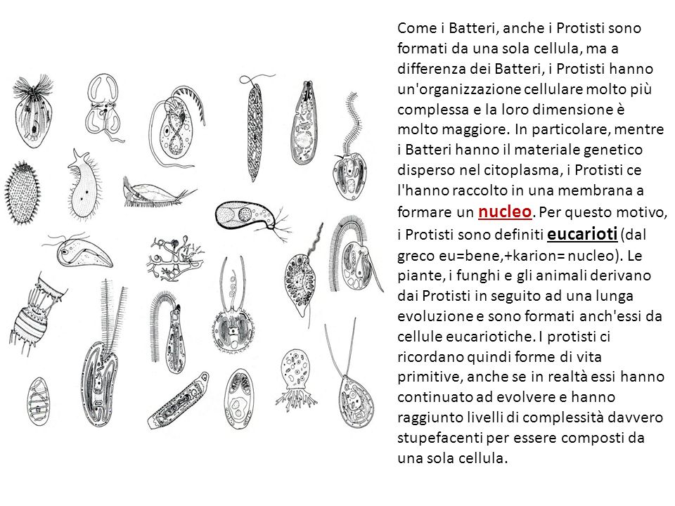 Come i Batteri, anche i Protisti sono formati da una sola cellula, ma a differenza dei Batteri, i Protisti hanno un'organizzazione cellulare molto più