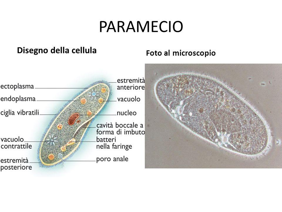 PARAMECIO Disegno della cellula Foto al microscopio