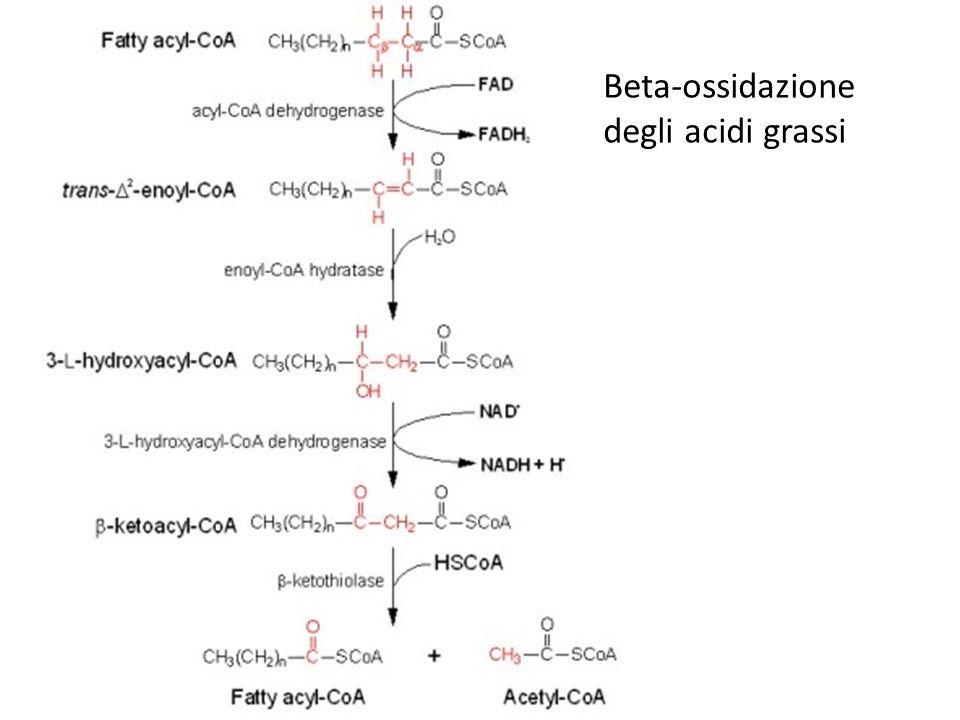 Beta-ossidazione degli acidi grassi
