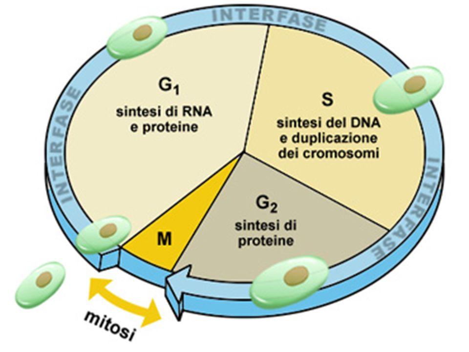 5) Modificazione post-trascrizionale delle proteine con l aggiunta di uno o più carboidrati.
