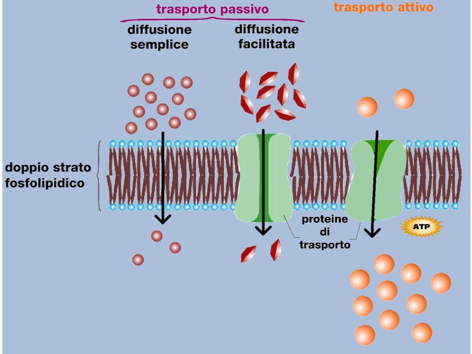 3) Quale dei seguenti organuli contiene gli enzimi deputati alla respirazione cellulare.