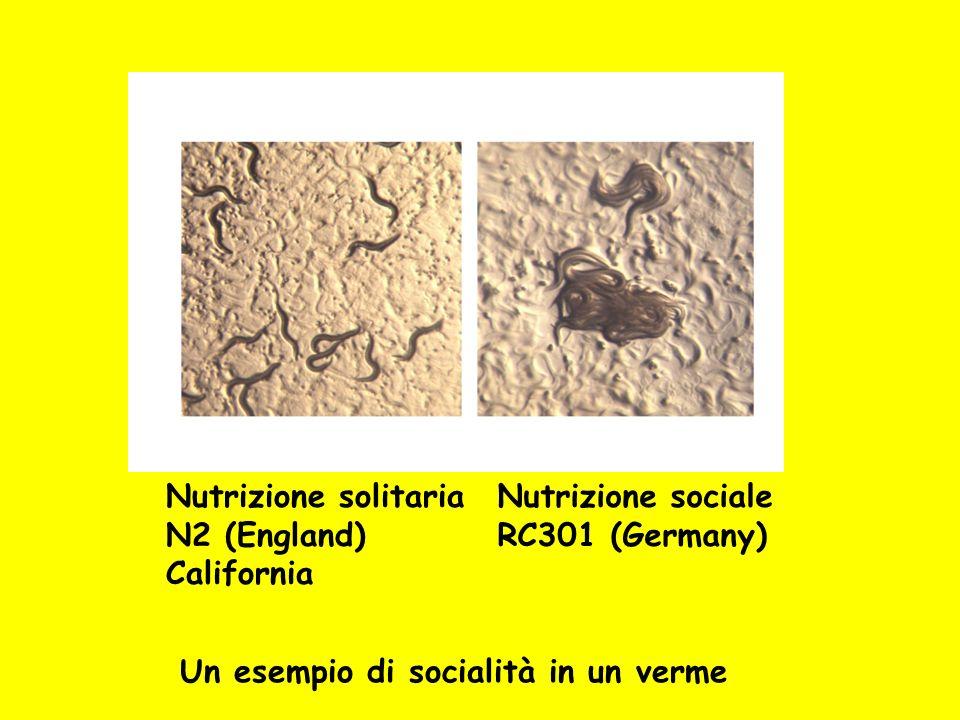 Nutrizione solitaria N2 (England) California Nutrizione sociale RC301 (Germany) Un esempio di socialità in un verme