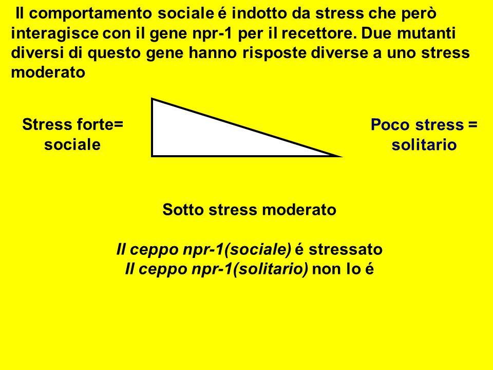 Stress forte= sociale Poco stress = solitario Il comportamento sociale é indotto da stress che però interagisce con il gene npr-1 per il recettore. Du