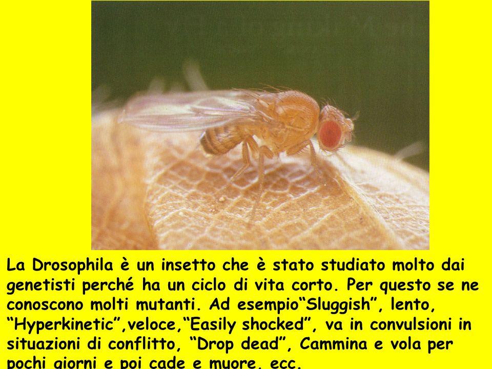 La Drosophila è un insetto che è stato studiato molto dai genetisti perché ha un ciclo di vita corto. Per questo se ne conoscono molti mutanti. Ad ese