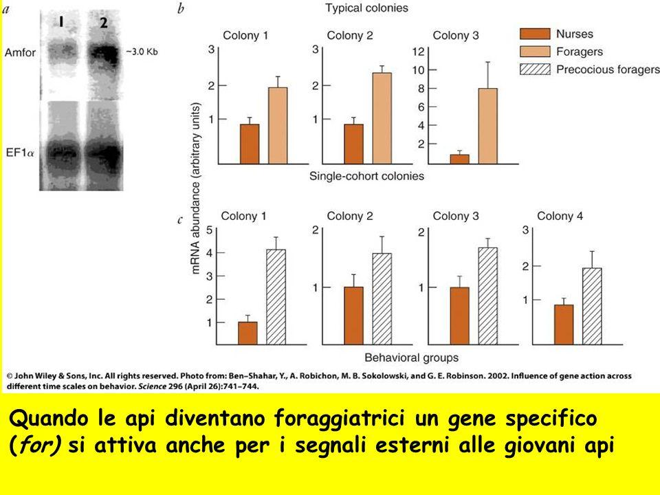 Quando le api diventano foraggiatrici un gene specifico (for) si attiva anche per i segnali esterni alle giovani api