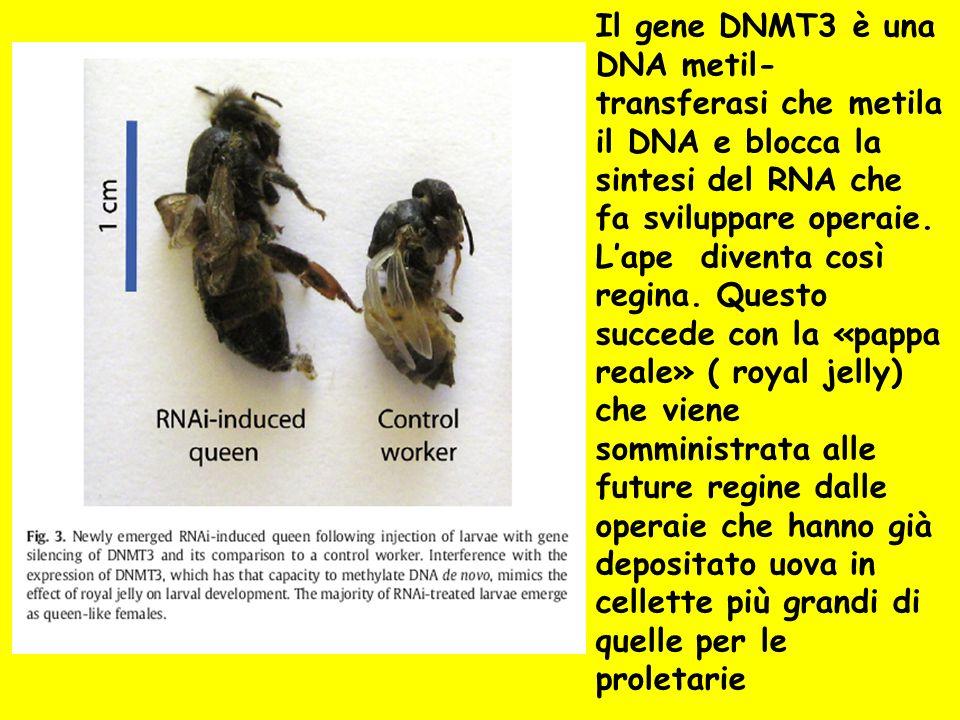 Il gene DNMT3 è una DNA metil- transferasi che metila il DNA e blocca la sintesi del RNA che fa sviluppare operaie. Lape diventa così regina. Questo s