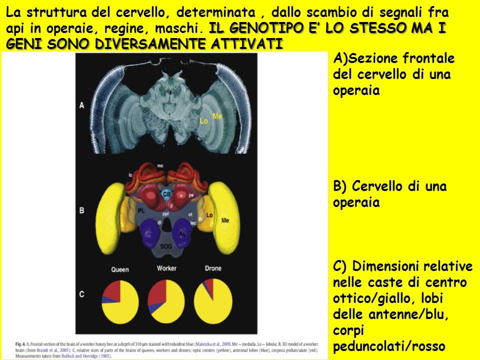 A)Sezione frontale del cervello di una operaia B) Cervello di una operaia C) Dimensioni relative nelle caste di centro ottico/giallo, lobi delle anten