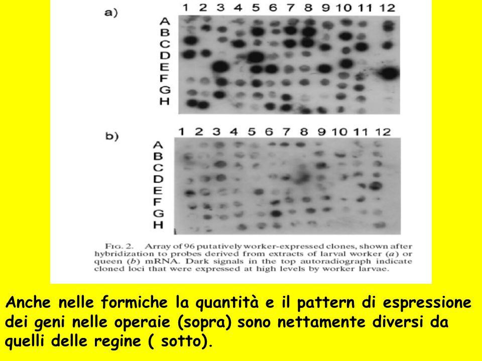 Anche nelle formiche la quantità e il pattern di espressione dei geni nelle operaie (sopra) sono nettamente diversi da quelli delle regine ( sotto).