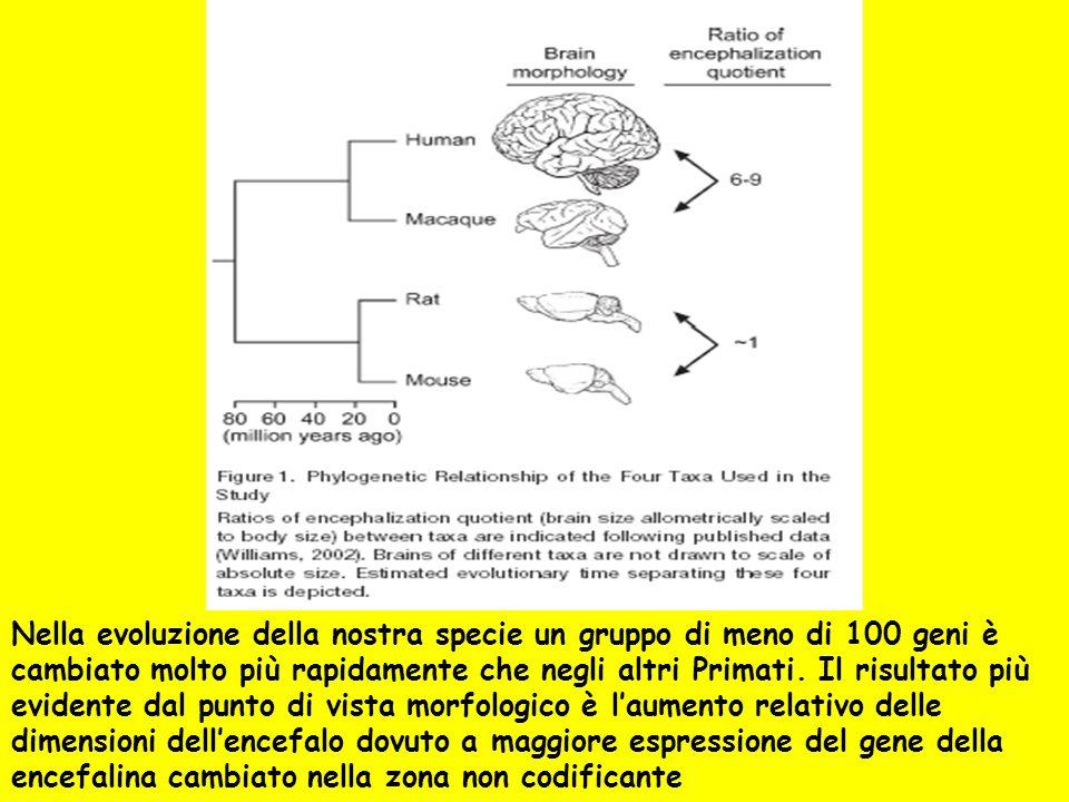 Nella evoluzione della nostra specie un gruppo di meno di 100 geni è cambiato molto più rapidamente che negli altri Primati. Il risultato più evidente