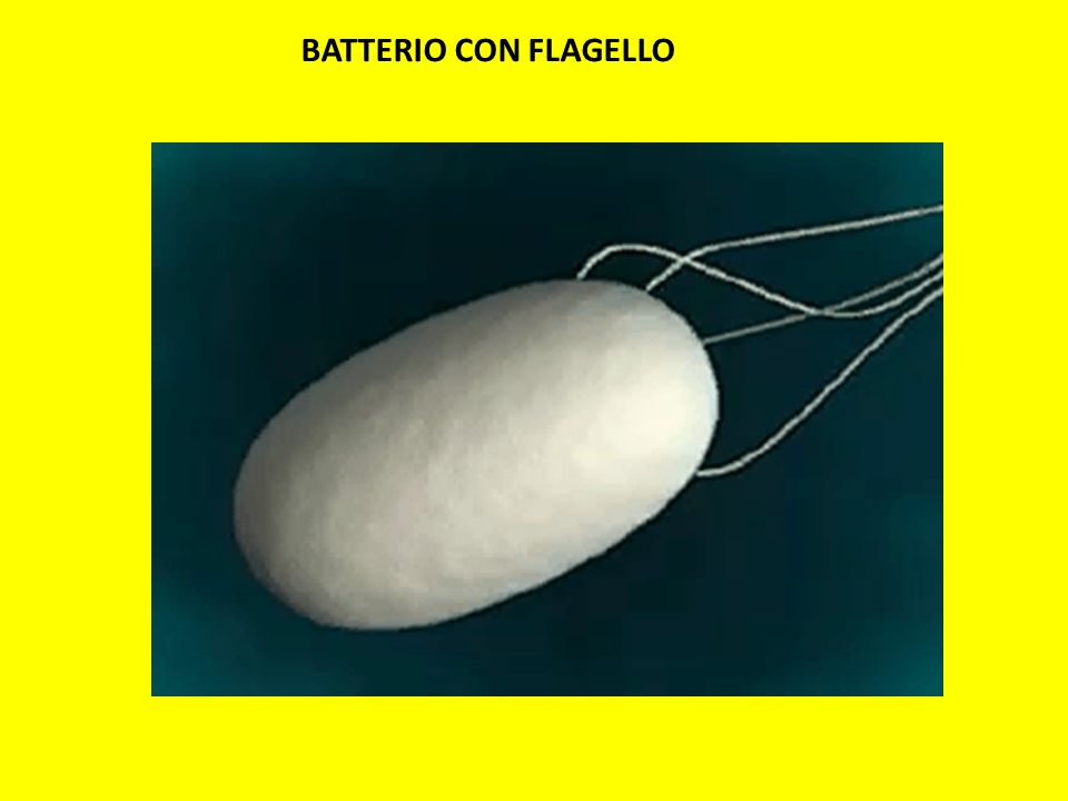 BATTERIO CON FLAGELLO