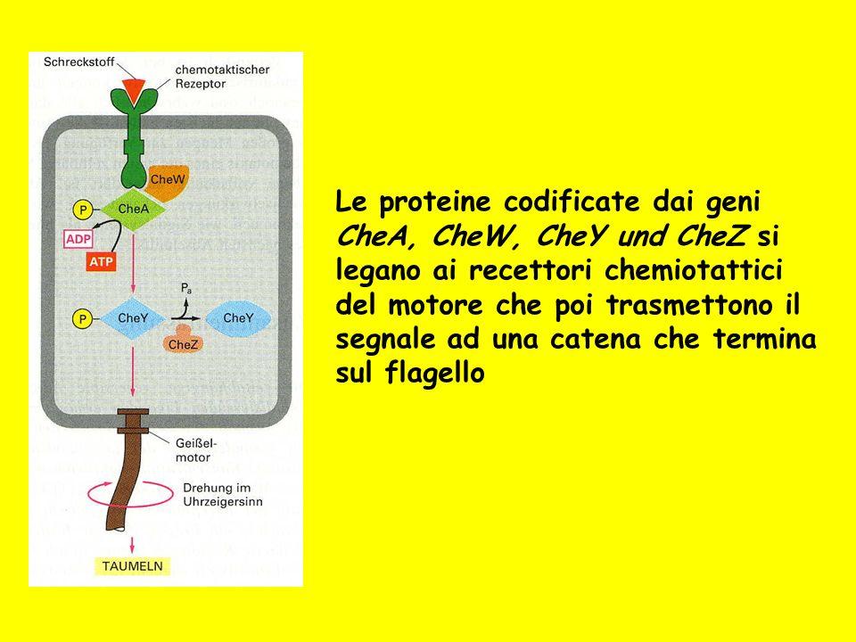 Le proteine codificate dai geni CheA, CheW, CheY und CheZ si legano ai recettori chemiotattici del motore che poi trasmettono il segnale ad una catena