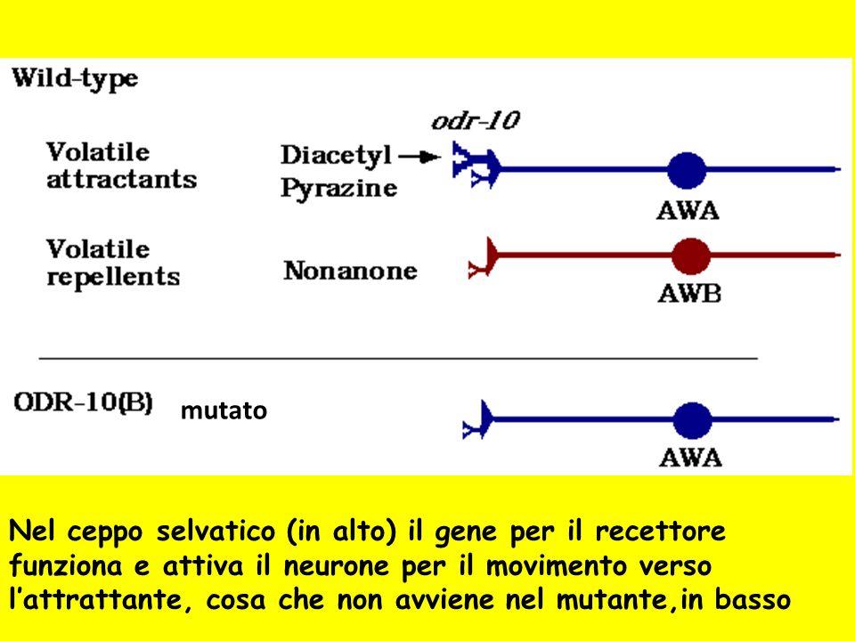 mutato Nel ceppo selvatico (in alto) il gene per il recettore funziona e attiva il neurone per il movimento verso lattrattante, cosa che non avviene n
