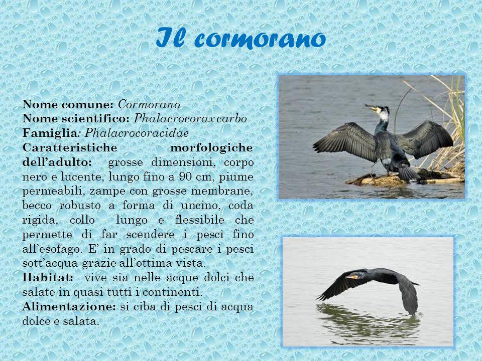 Il cormorano Nome comune: Cormorano Nome scientifico: Phalacrocorax carbo Famiglia : Phalacrocoracidae Caratteristiche morfologiche delladulto: grosse