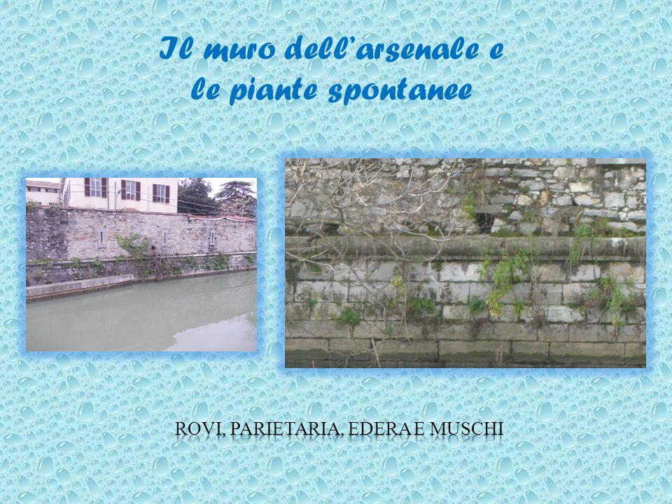 Il muro dellarsenale e le piante spontanee