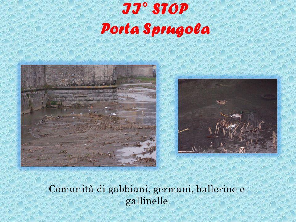 II° STOP Porta Sprugola Comunità di gabbiani, germani, ballerine e gallinelle