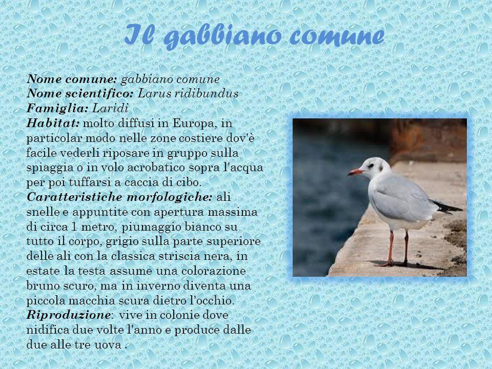 Il gabbiano comune Nome comune: gabbiano comune Nome scientifico: Larus ridibundus Famiglia: Laridi Habitat: molto diffusi in Europa, in particolar mo