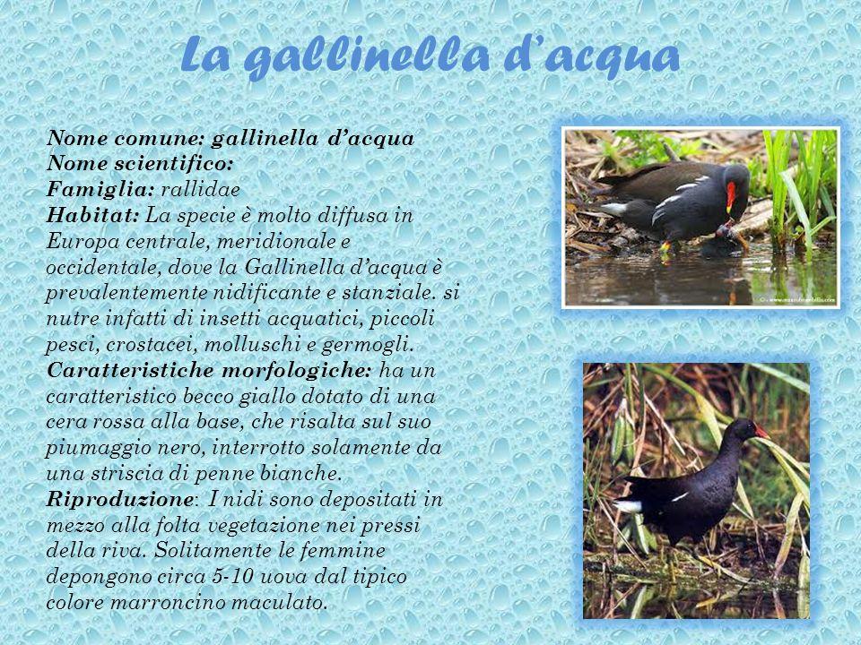 La gallinella dacqua Nome comune: gallinella dacqua Nome scientifico: Famiglia: rallidae Habitat: La specie è molto diffusa in Europa centrale, meridi