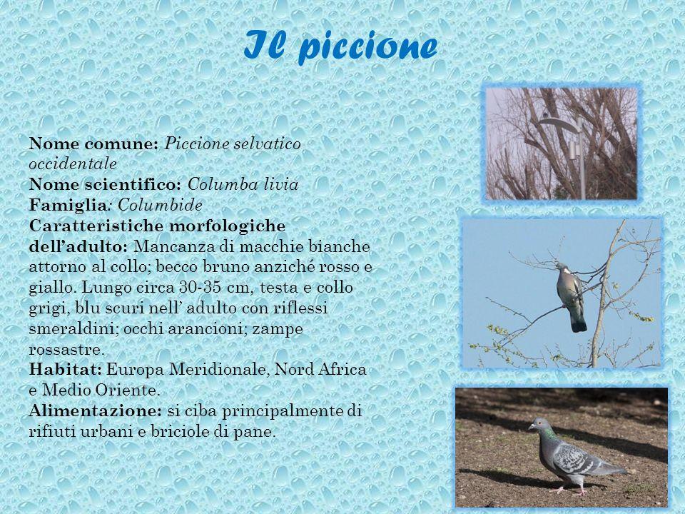 Il piccione Nome comune: Piccione selvatico occidentale Nome scientifico: Columba livia Famiglia : Columbide Caratteristiche morfologiche delladulto: