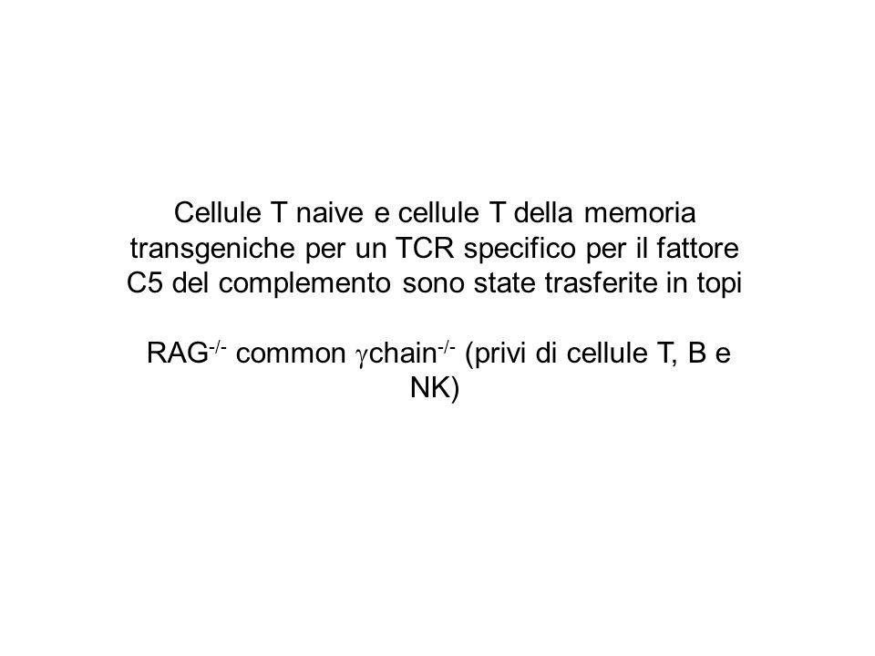 Cellule T naive e cellule T della memoria transgeniche per un TCR specifico per il fattore C5 del complemento sono state trasferite in topi RAG -/- co